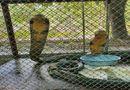 """An ninh - Hình sự - Bắt quả tang bố chồng và con dâu rủ nhau đi bán cặp rắn hổ mang """"khủng"""" nặng 6kg"""