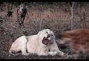 """Video-Hot - Video: Chuẩn bị thưởng thức bữa ăn thịnh soạn, sư tử trắng bị đàn linh cẩu đến """"cướp trên dàn mướp"""""""