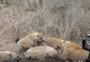 """Video-Hot - Video: Cặp sư tử vẫn bị loài vật này """"nẫng"""" mất mồi ngon một cách trắng trợn"""