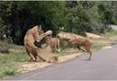Video-Hot - Video: Đụng độ đàn sư tử trên đường, linh dương nhận cái kết bi thảm