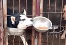 """Video-Hot - Video: Chó Husky trắng trợn """"cướp"""" đồ ăn của đồng bọn"""