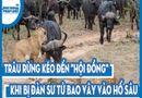 """Video - Video: Trâu rừng kéo đến """"hội đồng"""" khi bị đàn sư tử bao vây vào hố sâu"""