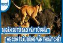 Video-Hot - Video: Bị đàn sư tử bao vây tứ phía, mẹ con trâu rừng vẫn thoát chết một cách thần kỳ