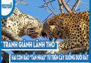 """Video-Hot - Video: Tranh giành lãnh thổ, hai con báo """"tẩn nhau"""" từ trên cây xuống tận dưới đất"""