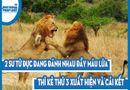 Video-Hot - Video: 2 sư tử đực đang đánh nhau đầy máu lửa thì kẻ thứ 3 xuất hiện và cái kết đầy bất ngờ