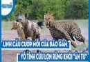 """Video-Hot - Video: Linh cẩu cướp mồi của báo gấm, vô tình cứu lợn rừng khỏi """"án tử"""""""
