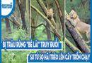 """Video-Hot - Video: Bị trâu rừng """"bẻ lái"""" truy đuổi, sư tử sợ hãi trèo lên cây trốn chạy"""