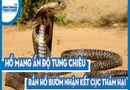 Video-Hot - Video: Kinh hoàng hàng chục rắn hổ mang chúa lúc nhúc trong thân dừa mục