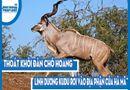 Video-Hot - Video: Thoát khỏi đàn chó hoang, linh dương Kudu rơi vào địa phận của hà mã và cái kết đau đớn