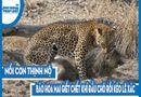 Video-Hot - Video: Nổi cơn thịnh nộ, báo hoa mai giết chết khỉ đầu chó rồi kéo lê xác