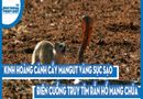 Video-Hot - Video: Kinh hoàng cảnh cầy mangut vàng sục sạo, điên cuồng truy tìm rắn hổ mang chúa