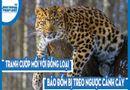 Video-Hot - Video: Tranh cướp mồi với đồng loại, báo đốm bị treo ngược cành cây