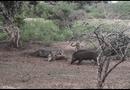 """Video-Hot - Video: Báo đốm """"đại chiến"""" lợn rừng tranh giành con mồi, kẻ thứ 3 bỗng xuất hiện thay đổi kết cục"""