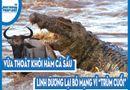 """Video-Hot - Video: Vừa thoát khỏi hàm cá sấu, linh dương lại bỏ mạng vì """"trùm cuối"""""""