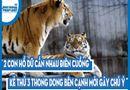 Video-Hot - Video: 2 con hổ dữ cắn nhau điên cuồng, kẻ thứ 3 thong dong bên cạnh mới gây chú ý