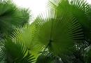 Sức khoẻ - Làm đẹp - Ngăn ngừa rụng tóc, hói đầu bằng cây cọ lùn