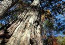 Tin thế giới - Trung Quốc phát hiện cây quý gần 3.000 tuổi
