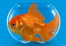 Sức khoẻ - Làm đẹp - Khám phá 4 bí mật về loài cá cảnh