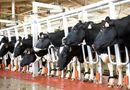 Thị trường - Bà chủ TH True Milk sẽ nuôi bò, chế biến sữa trên Tây Nguyên