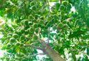 Tin trong nước - Vì sao cây mắc ca được gọi là cây tỷ đô ở Việt Nam?