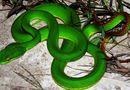 Tin trong nước - Nghi án người lạ thả rắn lục đuôi đỏ với mưu đồ xấu ở Quảng Ngãi