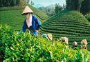 Thị trường - Vạch trần thủ đoạn bôi bẩn thương hiệu chè Lâm Đồng nhiễm Dioxin