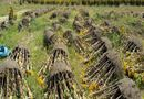 Thị trường - Sau Tết: Hàng loạt chậu hoa ế héo khô tại vườn