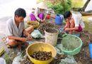 Thị trường - Nông dân Việt Nam lại nhen nhúm bán ốc bươu vàng sang Trung Quốc