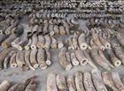Tin thế giới - Singapore thu giữ lô vảy tê tê, ngà voi trị giá hơn 48 triệu USD đang trên đường đến Việt Nam