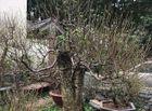 Kinh doanh - Người trồng đào Nhật Tân đang tất bật tuốt lá đón Tết