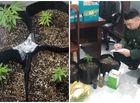 """An ninh - Hình sự - Vụ bắt quả tang đối tượng trồng cần sa tại nhà: Thiếu niên đặt """"hạt giống"""" qua Facebook"""