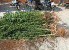 An ninh - Hình sự - Căn vườn bí ấn trồng gần 500 cây cần sa của người đàn ông Canada ở nhà vợ tại Phan Thiết