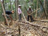 Phú Yên: Hàng nghìn người phá rừng tìm trầm bì