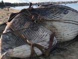 Phát hiện xác cá voi nặng 15 tấn dạt vào biển Mũi Né