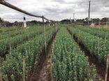 Làng Tây Tựu lao đao vì hoa chết úng, giá tăng gấp đôi không có hàng để bán
