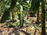 Vụ bé gái 12 tuổi bị hiếp dâm ở vườn chuối tại Hà Nội: Lộ diện nghi phạm