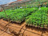 Tạm giữ hình sự 2 đối tượng trồng hơn 2.600 cây cần sa