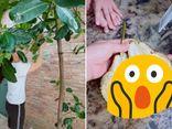Cộng đồng mạng - Cô gái khoe quả mít nhà trồng