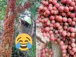 Cô gái khoe loại quả mọc kín mít từ gốc đến ngọn, biết nguồn gốc ai nấy đều xuýt xoa thòm thèm