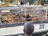 An ninh - Hình sự - Công an phát hiện 17 con hổ, mỗi con nặng hơn 200kg trong nhà dân