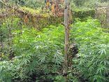 Người phụ nữ trồng hơn 200 cây cần sa trong rẫy cà phê để chăn nuôi