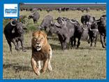 Video: Bị trâu rừng truy sát, sư tử may mắn thoát chết nhờ màn