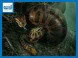 Video: Trăn Anaconda tung đòn kết liễu chuột lang khổng lồ trong nháy mắt