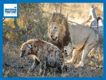 Video: Cả gan dòm ngó bữa ăn của đàn sư tử, linh cẩu nhận kết đắng