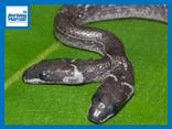 Video: Rùng mình cảnh rắn vua 2 đầu cùng lúc ăn thịt hai con chuột