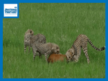 Video-Hot - Video: Rơi vào vòng vây 3 mẹ con báo săn, linh dương vẫn thoát chết cực khó tin