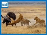 Video-Hot - Video: Vừa hạ hục được trâu rừng, 3 sư tử phải cuống cuồng bỏ chạy vì điều này