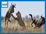 Video-Hot - Video: Mải mê đánh nhau, 2 con linh dương bị sư tử phục kích rồi xơi tái