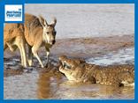 Video: Mai phục kín đáo, cá sấu khổng lồ tóm gọn kangaroo, xé xác trên sông