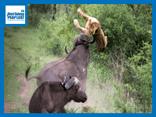 Video: Thấy con non bị bắt nạt, trâu rừng lao vào giải cứu, hất văng sư tử cái